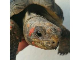female REDFOOT tortoise AGE 14
