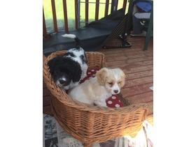 These are a beautiful litter cavapoo pups1 fox red boy and 1  black&tan girl left These are very fluffy, chunky, puppies. They have been regularly wor