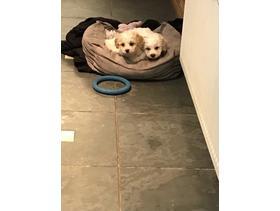 Very cute fluffy cavashon puppies
