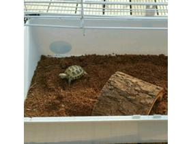 BABY HORSFIELD TORTOISE AND SETUP