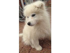 3 month old Samoyed puppy