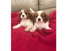 Da Me King Charles Spaniel Puppies