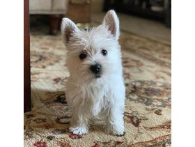 Exceptional West Highland Puppies  - ( Westies )