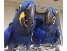 Lovely pair of hyacinth macaw parrots for sale