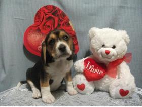 Kc Registered Beagle Pups