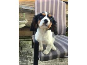 Mbappe~Lep Bleheim Cavalier king charles puppies