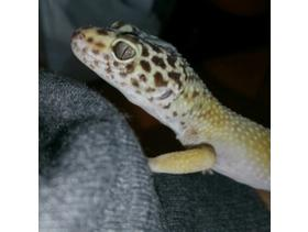 STUNNING LEOPARD GECKO FRIENDLY MALE 7 MONTHS OLD