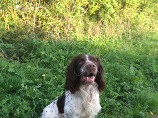 Proven Working English Springer Spaniel Dog For Stud in York
