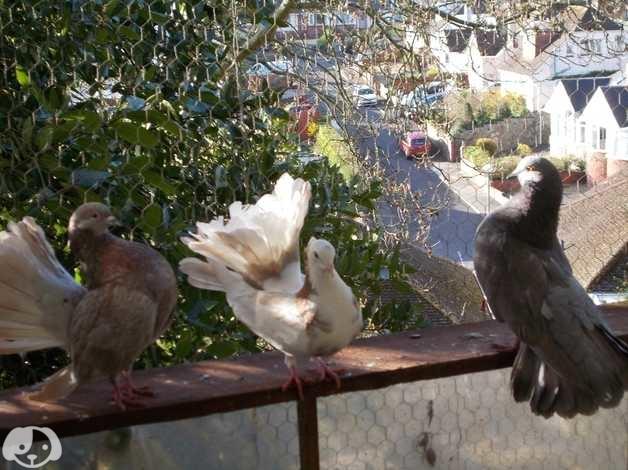 Garden fantail pigeons in Paignton