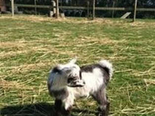 Friendly Pygmy Goat Wether Kid in Penzance