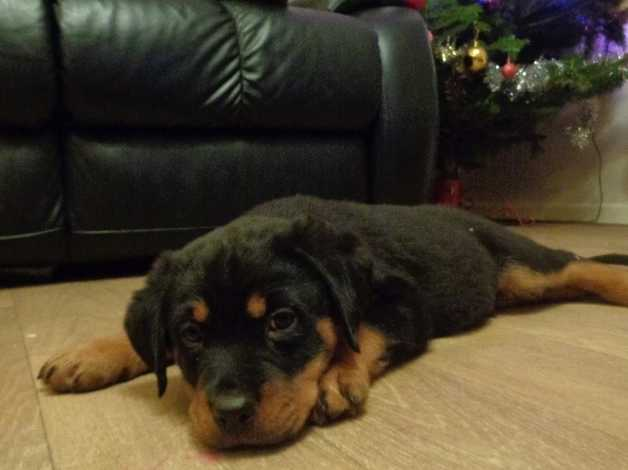 Rottweiler Puppies In Salisbury Sp5 On Freeads Classifieds