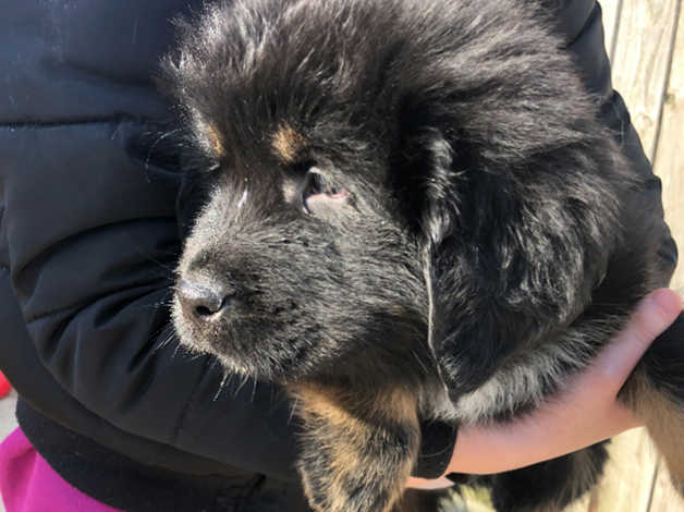 Tibetan Mastiff Puppies in Rochford