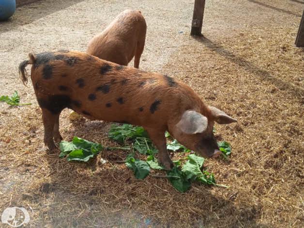 Oxford Sandy and black pair of pigs in Birmingham