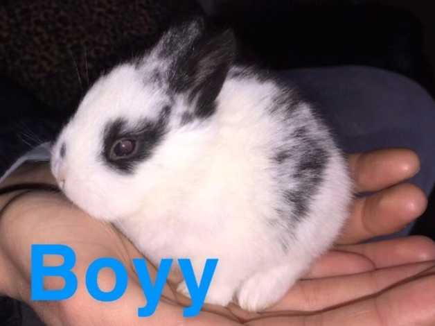 3 lionhead/dwarf baby rabbits for sale in Accrington