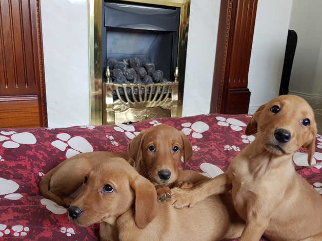 KC registered fox red labrador puppies in Sunderland