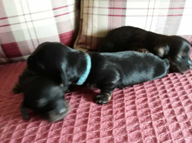 Miniature l/h pups for sale in Alness
