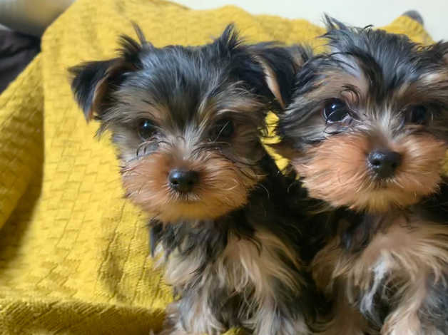 Mini York Puppie Male In Nottinghamshire On Freeads Classifieds