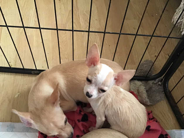 Stunning chihuahua puppies for sale in Saltcoats