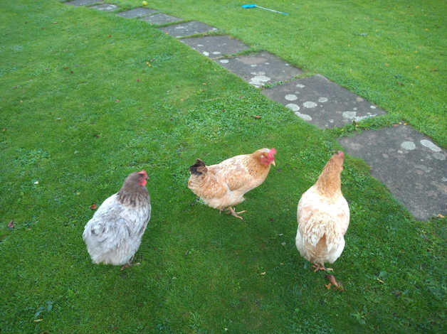x 3 chickens looking for new home in Glastonbury