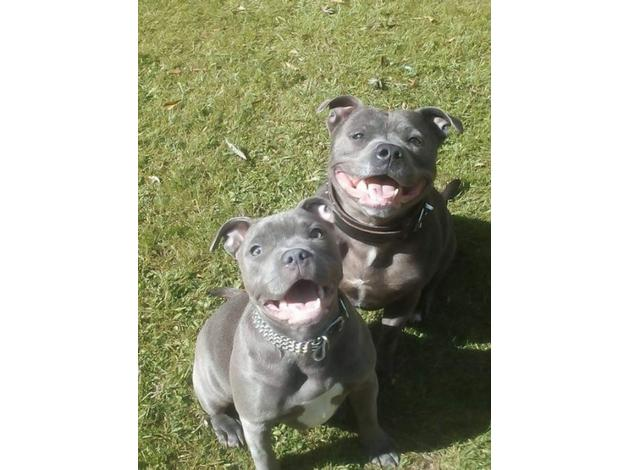 Extraordinary KC Reg Staffie 2 BOYS AND 2 GIRLS LEFT All Pure Blue in  Spalding