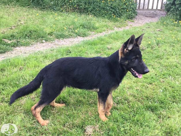 Short hair straight back German shepherd pups aged 3,10 months in Radstock