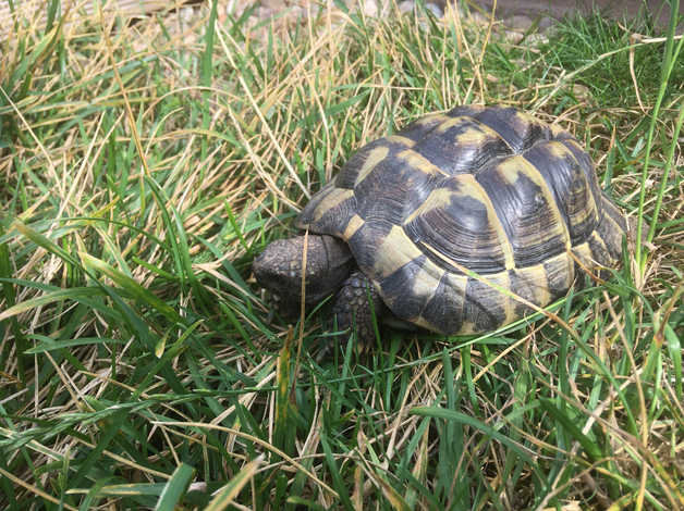 Hermann Tortoise Testudo Hermanni 6 Year Old Male Lively And Healthy With Bags Of Personality In Portsmouth