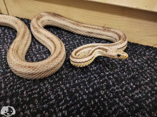 Gentle and beautiful adult corn snake suitable for beginners & breeders in  Camden