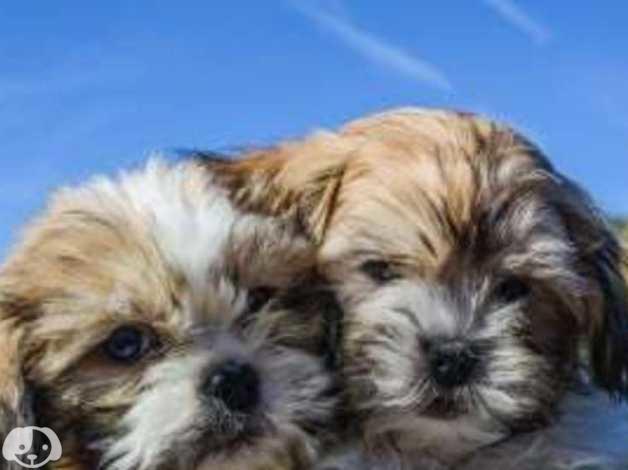 Malshi Maltese X Shih Tzu Pups In Burnley Bb12 On Freeads
