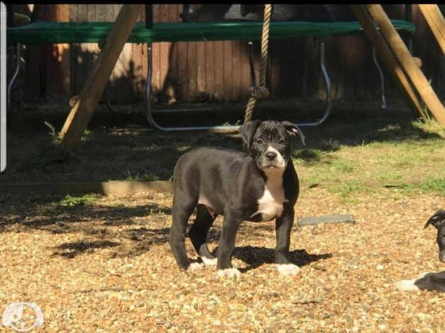 Alapaha boerboel puppy in Lewisham