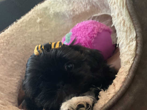 I Have 5 Kc Registered Shih Tzu Puppies For Sale In Warrington On