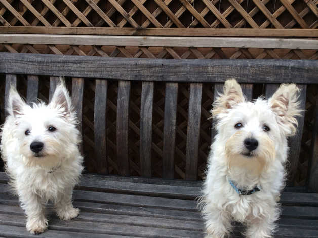 Westie puppy for sale ,HOLLY  in Cockermouth
