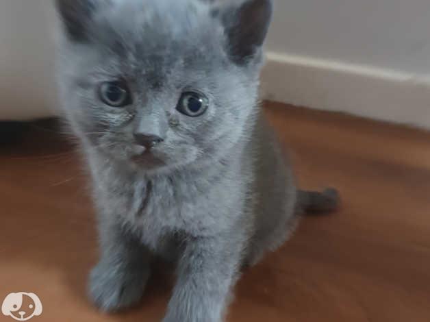 Scottish fold kittens for sale in Lewisham