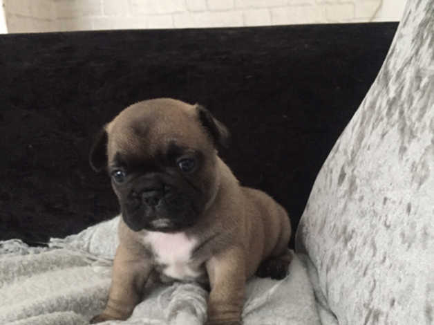 Adorable french bulldog puppies for sale in Coventry
