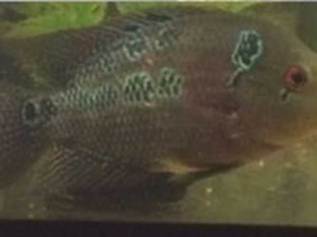 Flowerhorn Fish in London on Freeads Classifieds - Cichlids