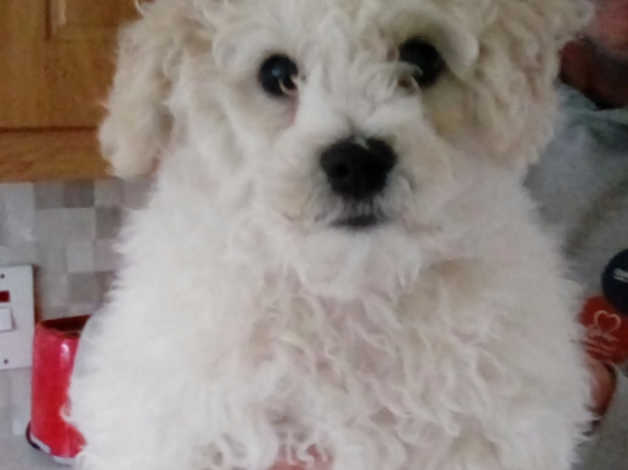 bichon frise puppy for sale in Strabane