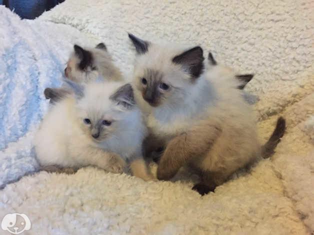 Beautiful ragdoll kittens in Spilsby