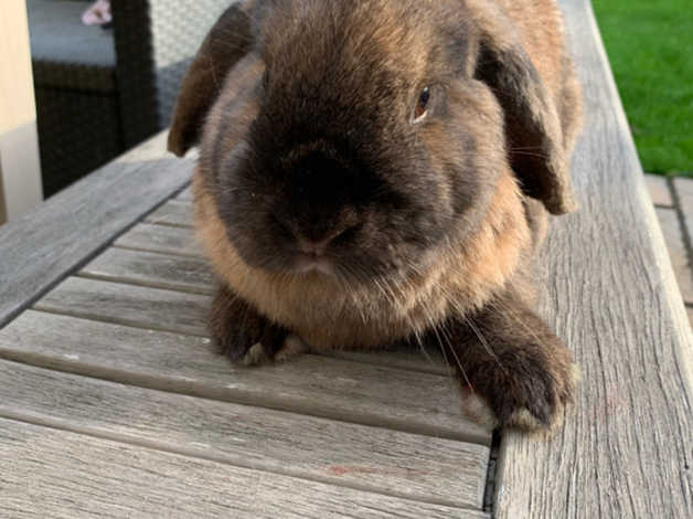 Adult Female Mini Lop For 5 Pet Home In Wokingham Rg40 On Freeads Classifieds Mini Lops Classifieds