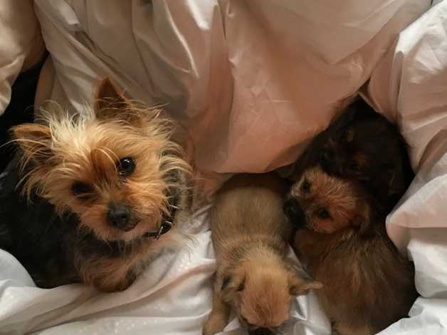 Yorkshire Terrier Mini X Shihtzu Puppies In Southport On Freeads