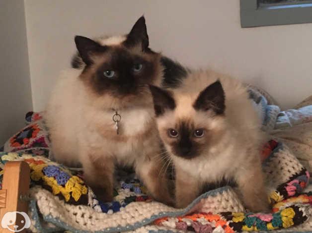 Birman Kittens in Beaworthy