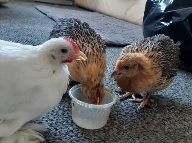 1 silkie chick and 2 lavender pekins (Chickens) in Neath Port Talbot