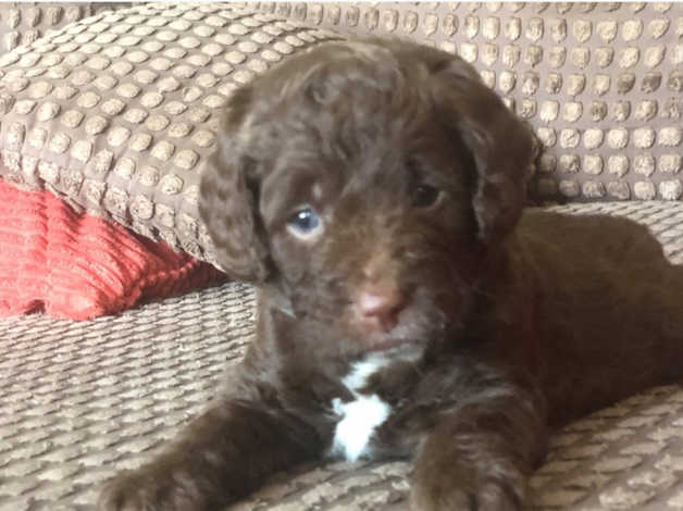 Labradoodle F1b x Cockapoo F1 Doubledoodles in Forfar