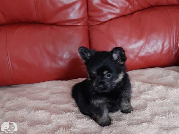 Beautiful Yorkshire Terrier Cross Pomeranian Puppies In Swansea Sa9