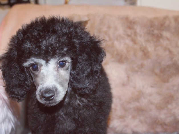 Beautiful Silver Toymini Poodle