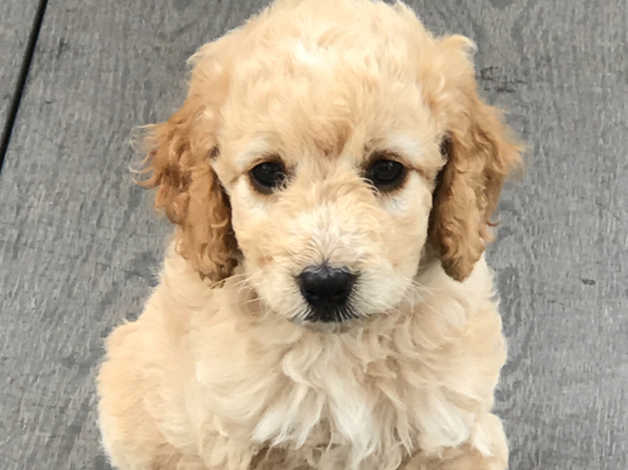 Ready now! Beautiful curly F1B Cockapoo Puppy Cream Girl in Skegness