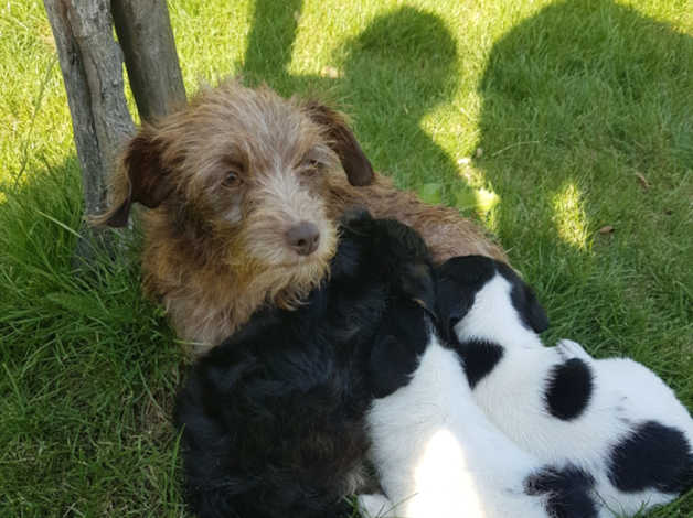 Jackapoo puppies for sale in Suffolk