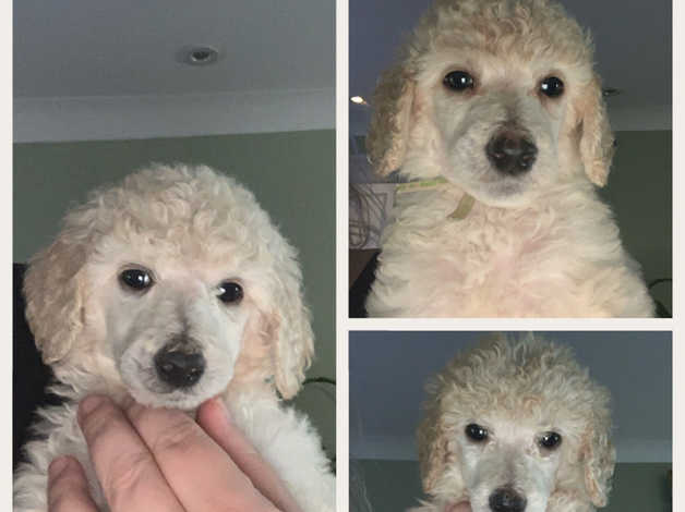 white standard poodle girl fully vaccinated ready now in Cardiff