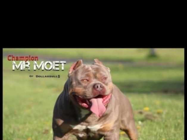 Blue Ghost Tri Pocket Bully in Barnsley on Freeads Classifieds