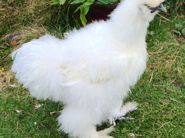 Silkies to rehome Near Coningsby in Boston