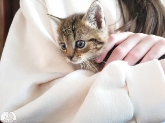 Beautiful Grey Tabby Kitten In Derby On Freeads Classifieds Mixed Breed Classifieds