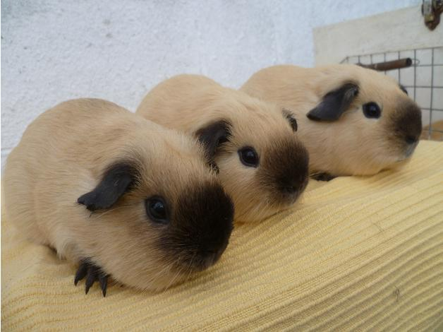 guinea pigs californian cream buff and self whites in wisbech